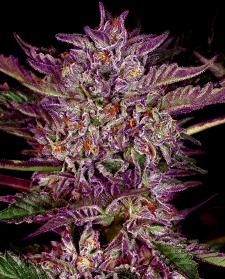 purple-bud-autoflowering-xl (1)