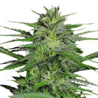 Chronic Autoflowering Samen
