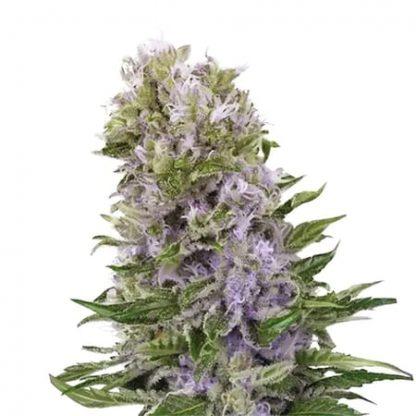 blueberry-420-autoflowering-cannabis-samen