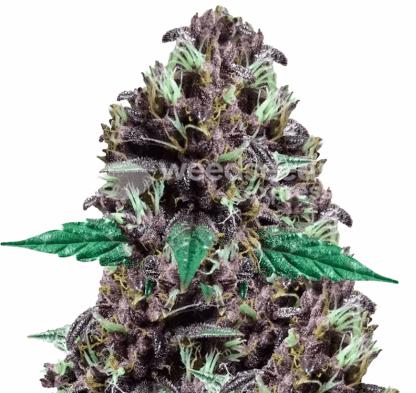 CBD Purple Kush